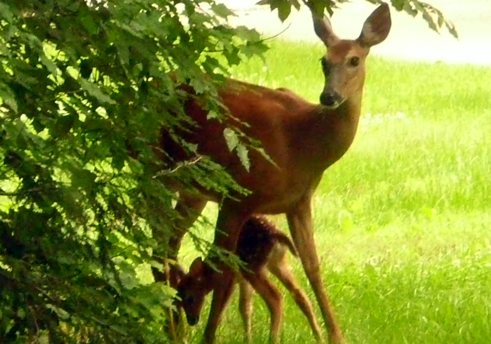 Deer behind a tree